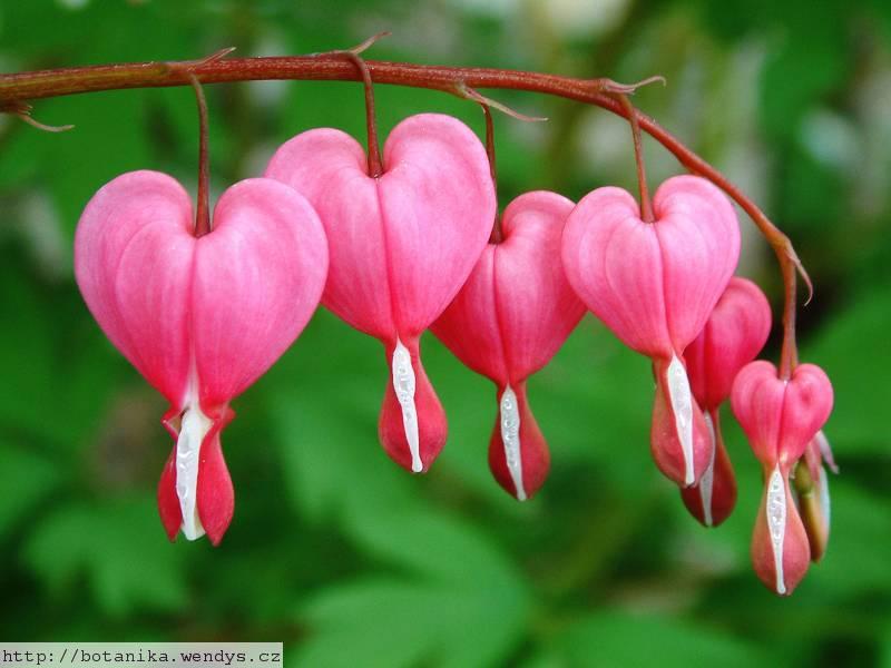Medicinal Herbs Bleeding Heart Dicentra Spectabilis