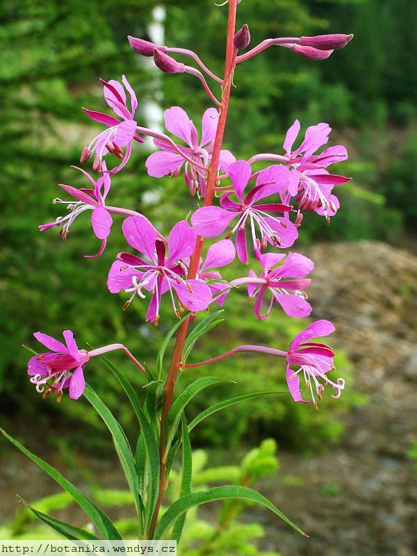 Medicinal herbs willow herb epilobium angustifolium