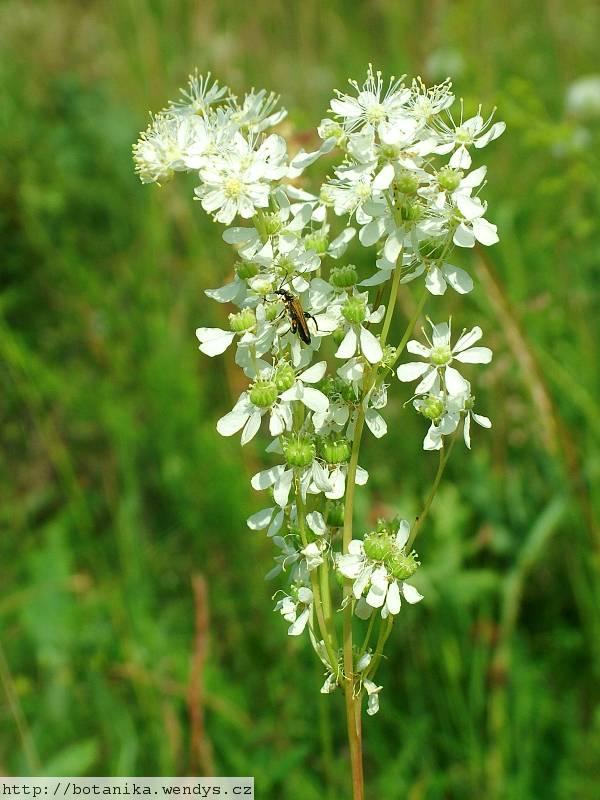 Medicinal Herbs Dropwort Filipendula Vulgaris
