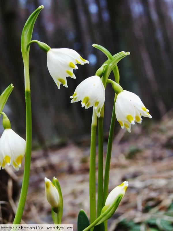 Medicinal Herbs Spring Snowflake Leucojum Vernum