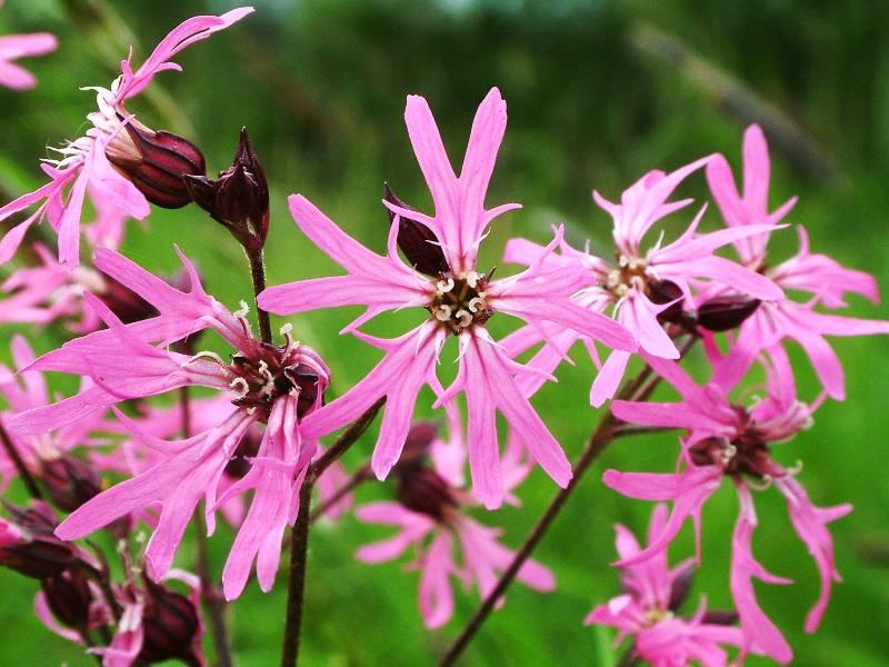 Medicinal Herbs Ragged Robin Lychnis Flos Cuculi