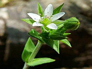 Thyme-Leaf Sandwort - Arenaria serpyllifolia