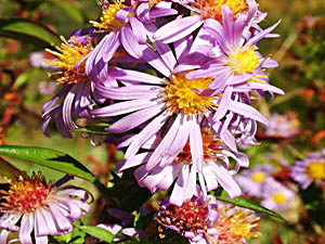 Ialian Aster - Aster amellus