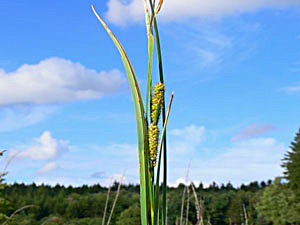 Beaded Sedge - Carex rostrata