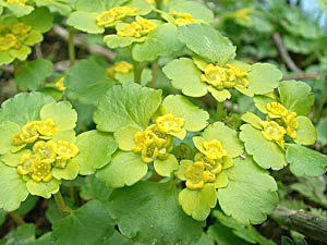 Golden Saxifrage - Chrysosplenium alternifolium