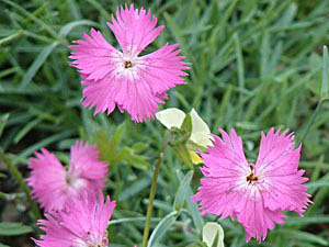 Cheddar Pink - Dianthus gratianopolitanus