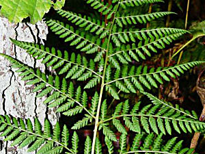 Shield Fern - Dryopteris dilatata