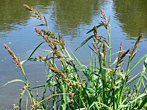 Barnyard Millet - Echinochloa crus-galli