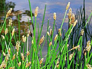 Common Spike-Rush - Eleocharis palustris
