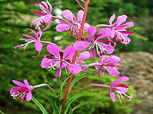 Willow Herb - Epilobium angustifolium