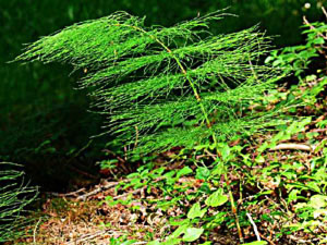 Wood Horsetail - Equisetum sylvaticum