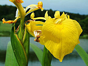 Yellow Flag - Iris pseudacorus