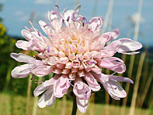 Field Scabious - Knautia arvensis