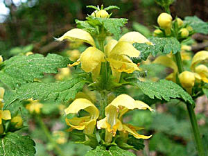 Yellow Archangel - Lamium galeobdolon