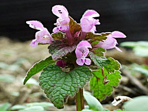 Red Dead Nettle - Lamium purpureum