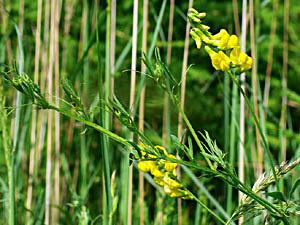 Meadow Vetchling - Lathyrus pratensis