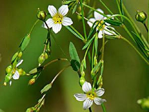Purging Flax - Linum catharticum