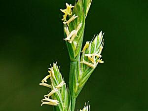 Perennial Ryegrass - Lolium perenne