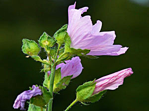Musk Mallow - Malva moschata