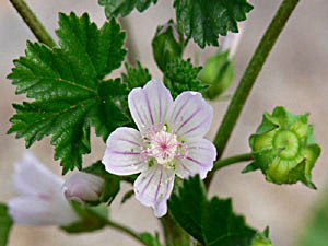 Dwarf Mallow - Malva neglecta