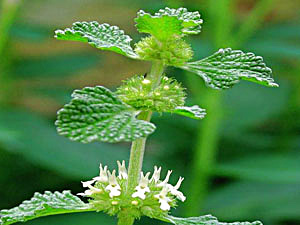 White Horehound - Marrubium vulgare