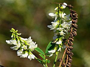 White Melilot - Melilotus albus