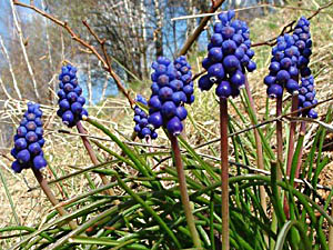 Grape Hyacinth - Muscari neglectum