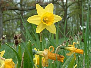 Wild Daffodil - Narcissus pseudonarcissus