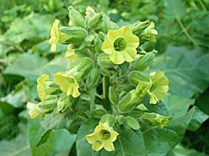 Wild Tobacco - Nicotiana rustica