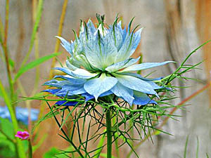 Love-In-A-Mist - Nigella damascena
