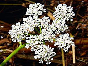 Water Dropwort - Oenanthe aquatica