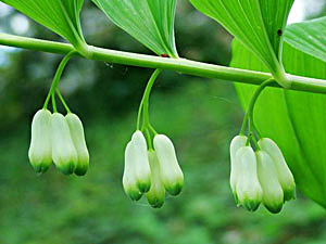 Solomon's Seal - Polygonatum multiflorum