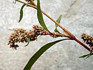Curlytop Knotweed - Polygonum lapathifolium