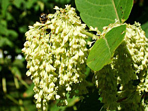Giant Knotweed - Polygonum sachalinense