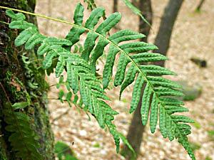 Polypody - Polypodium vulgare