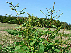 Round-Leaved Dock - Rumex obtusifolius
