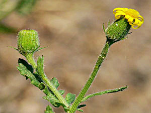 Sticky Groundsel - Senecio viscosus