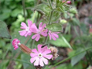 Red Campion - Silene dioica