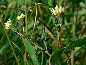 Prickly Sow Thistle - Sonchus asper