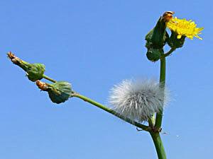 Sow Thistle - Sonchus oleraceus