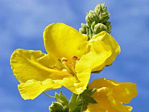 Mullein - Verbascum densiflorum