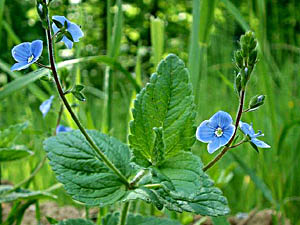 Germander Speedwell - Veronica chamaedrys